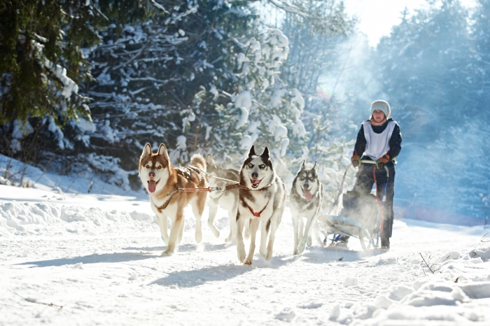 Siberian husky at snow winter competition race in forest